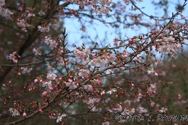 Prunus x subhirtella \'Automnalis Rosea\'