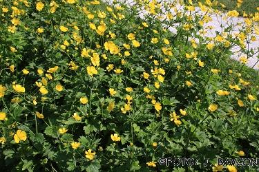 Ranunculus anemonifolius