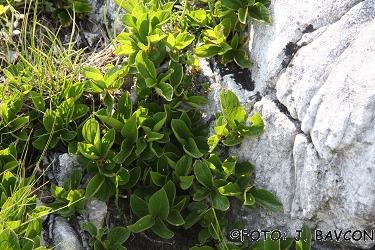 Rhamnus pumilus