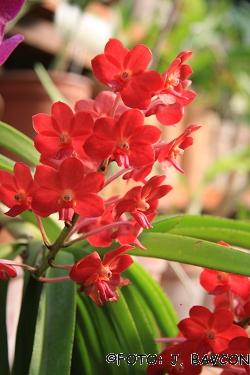 Vascostylis Pine River Red\'